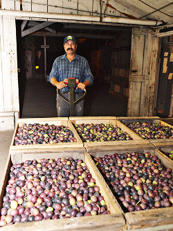 Olives arrive on a forklift at harvest time in December