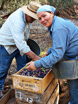 Olive grove workers are proud of their craft